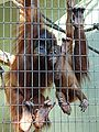Orang-utan mother and baby Zoo Frankfurt Rovdyr.JPG