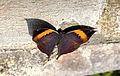 Orange Oakleaf Kallima inachus by Dr. Raju Kasambe IMG 2835 (7).JPG