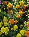 Orange and Yellow Carnations (5720317142).jpg
