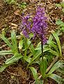 Orchideen am Gladeberg 004.jpg