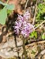 Orchis simia in Lozere (2).jpg