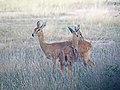 Oribi - Ourebia ourebi, Gorongosa National Park, Mozambique (45655196695).jpg