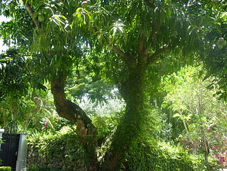 Haden (mango) - Photograph of what is believed to be the original 'Haden' tree, located in Coconut Grove, Florida