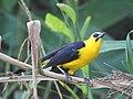 Oriole Blackbird, Loreto, Peru.jpg