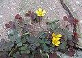 Oxalis corniculata kz04.jpg