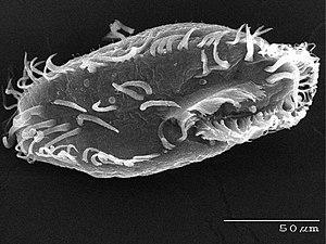Ciliate - Oxytricha trifallax