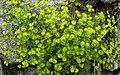 P1080788-24x15-Euphorbia helioscopia (28564884158).jpg