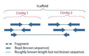 Contig - Overlapping reads from paired-end sequencing form contigs; contigs and gaps of known length form scaffolds.