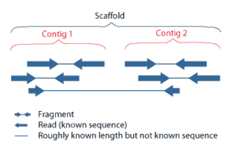 Genomics - Overlapping reads form contigs; contigs and gaps of known length form scaffolds.