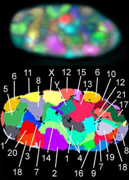 PLoSBiol3.5.Fig1bNucleus46Chromosomes