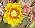 PRICKLY PEAR, ENGELMANN (Opuntia engelmanii) (2498420924).jpg