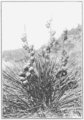 PSM V80 D221 Dagger weed in fruit.png