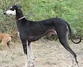 Paal kanni a.k.a Fawn with black coloured Kanni.jpg
