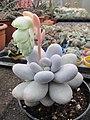 Pachyphytum oviferum in flower (4508513447).jpg