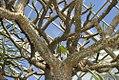 Pachypodium geayi 4zz.jpg