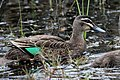 Pacific Black Duck (Anas superciliosa) (30539545234).jpg