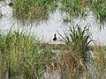 Pacific Golden Plover Breeding Kerala.jpg