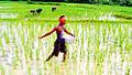 Paddy sowing in Chaudwar Kataka.jpg