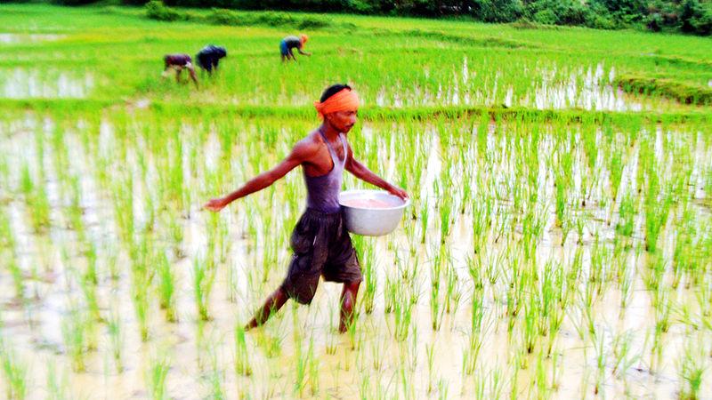 File:Paddy sowing in Chaudwar Kataka.jpg