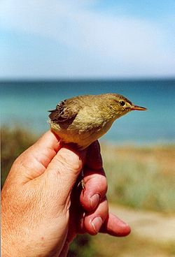 Paddyfied warbler inhand blacksea.jpg