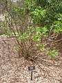 Paeonia ludlowii, Arnold Arboretum - IMG 6001.JPG