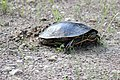 Painted Turtle Laying Eggs (34634553203).jpg