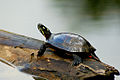 Painted Turtle on a log.jpg