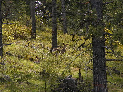 Pair of mule deer (Odocoileus hemionus) in Idaho forests.JPG