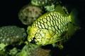 Palma Aquarium-Pez piña.tif