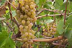 PalominoListan Blanco grapes growing in Tenerife.jpg