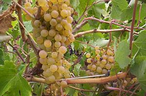 Palomino (grape) - Palomino grapes growing in the Canary Islands where they are known as Listan Blanco