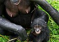 Pan paniscus (Bonobo baby and mother).jpg