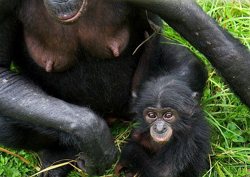 Pan paniscus (Bonobo baby and mother)