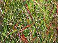 Panicum virgatum Shenandoah - Flickr - peganum (1).jpg