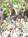 Papallona de l'arboç (Charaxes jasius) al Puig Francàs P1250456.jpg