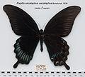 PapilioAscalaphusAscalaphusMUpUnAC1.jpg