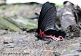 Papilio alcmenor (REDBREAST) Namdapha Tiger Reserve April 2011 (7659890530).jpg