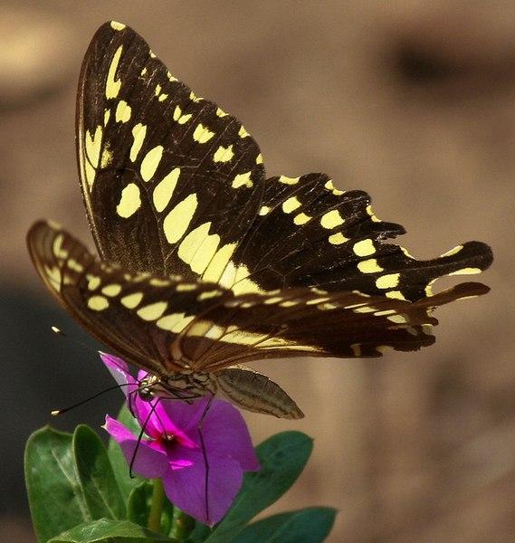 Fail:Papilio constantinus on flower.jpg