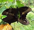 Papilio helenus - Red Helens mating 10.JPG