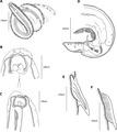 Parasite140013-fig1 Pterygodermatites (Paucipectines) baiomydis drawings.tif