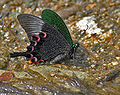 Paris Peacock (Papilio paris) at Samsing, Duars, WB W IMG 6453.jpg