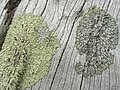 Parmeliopsis ambigua and hyperopta (43290625784).jpg