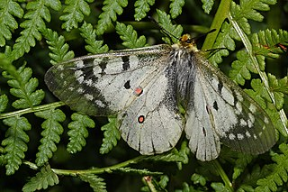 <i>Parnassius smintheus</i> Species of butterfly