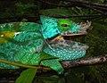 Parson's Chameleon, Andasibe, Madagascar.jpg
