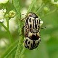 Parthenium beetle.JPG