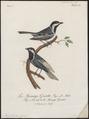 Parus afer - 1796-1808 - Print - Iconographia Zoologica - Special Collections University of Amsterdam - UBA01 IZ16100109.tif