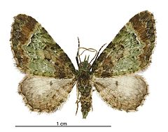 240px pasiphila sandycias male