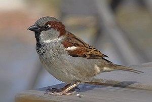 House sparrow - Male in Germany