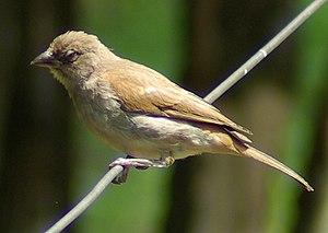 Swahili sparrow - Adult at a bird feeder at Masai Mara National Reserve, Kenya