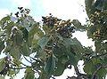 Paulownia tomentosa3.jpg